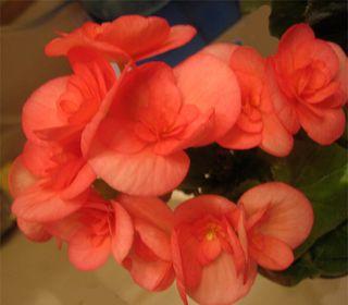 Begonia4Jan2010
