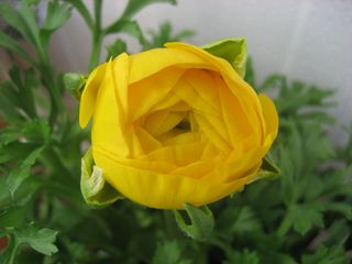 YellowRanunculus