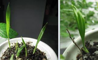 PalmSeedlings20100320