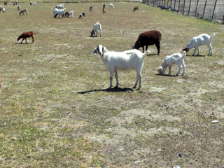 GoatsHeard20100515