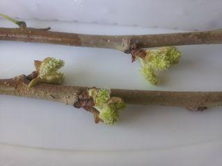 MulberryClones